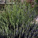 326630x150 - پاورپوینت گیاه زوفا از نظر خواص دارویی و مشخصات گیاهی و زراعی (15 اسلاید)